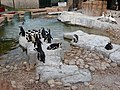 Pinguine und Kaptölpel, SANCCOB, Port Elizabeth.jpg