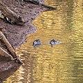 Pink-eared duck Burke River Boulia Queensland P1030480.jpg