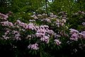 Pink-mountain-wildlfowers-wv - West Virginia - ForestWander.jpg