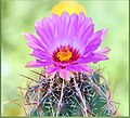 Pink Cactus Flower (209953225).jpeg