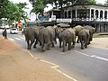 Pinnawale elephant orphanage (7568431904).jpg
