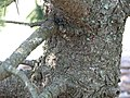 Pinus aristata 16zz.jpg