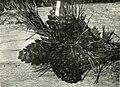 Pinus flexilis - Schäffer.jpg