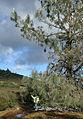 Pinus sabiniana Diablo Mountain 1.jpg