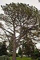 Pinus torreyana, 2016-02-04.jpg