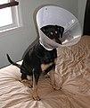 Piper dog cone - second-degree skunk spray burns.jpg