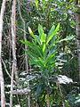 Placospermum coriaceum sapling Kuranda by tanetahi.jpg