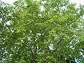 Platanus xhispanica in Kosice2.jpg