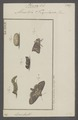 Plusia - Print - Iconographia Zoologica - Special Collections University of Amsterdam - UBAINV0274 057 15 0004.tif