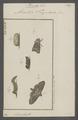 Plusia - Print - Iconographia Zoologica - Special Collections University of Amsterdam - UBAINV0274 057 15 0004.tif