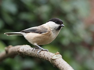 Willow tit - In the UK