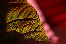 Venation of a poinsettia (Euphorbia pulcherrima) leaf