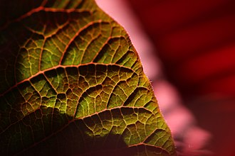 Poinsettia - Venation of a poinsettia leaf
