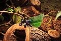 Poisonous Tree Frogs (32128092306).jpg