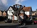 Pollarded lime tree, in Alexandra Road - geograph.org.uk - 1587922.jpg