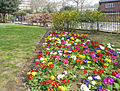Polyanthus,Lincoln's Inn Fields, London WC1.jpg