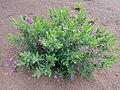 Polygala myrtifolia kz4.JPG