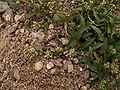 Polygonum lapathifolium1.jpg