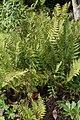Polystichum acrostichoides 11zz.jpg