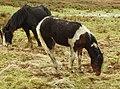 Ponies (33626082992).jpg