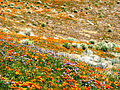 Poppies and Shrubs (2371736777).jpg