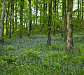Portglenone Forest Bluebells - May 2008.jpg