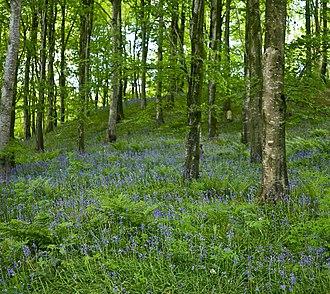Portglenone - Bluebells in Portglenone Forest
