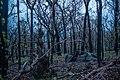 Post bushfire epicormic regrowth in eucalyptus, Blue Mountains, NSW, Australia 02.jpg