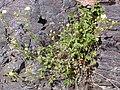 Potentilla glandulosa pseudorupestris (4396853945).jpg