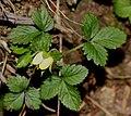 Potentilla indica (flower s5).jpg