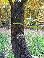 Pouteria sapota 03 tree bark.jpg