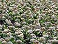 Primrose bed in Victoria Embankment Gardens.jpg