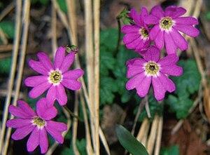 Mount Hijiri - Image: Primula reinii var. kitadakensis Shinanokozakura in Hijiridaira Nagano Pre 1997 6 8