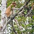 Proboscis Monkey (13970771490).jpg