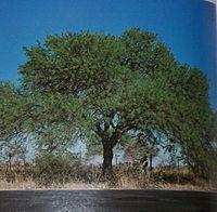 Distrito Fitogeogr Fico Del Algarrobo Wikipedia La