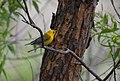 Prothonotary Warbler (34023747183).jpg