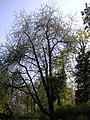 Prunus avium4.jpg