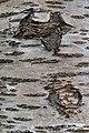 Prunus cerasus Montmorency tree bark 16.jpg