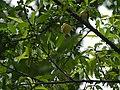 Prunus persica (7760169008).jpg