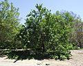 Prunus persica nucipersica alma stultz.jpg
