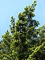 Pseudotsuga menziesii branch 01.jpg