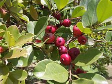 Psidium cattleyanum fruits.JPG
