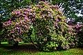 Pszczyna, Rhododendron Trees.jpg