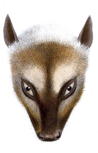 Great flying fox - Illustration of great flying fox