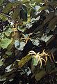 Pterospermum diversifolium.jpg