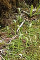 Pterostylis australis kz06.jpg