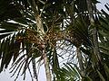 Ptychosperma macarthurii (4630550833).jpg