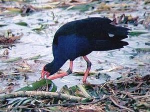 Australasian swamphen - Foraging for food beside Lake Pupuke, Auckland, New Zealand