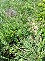 Pulsatilla pratensis (subsp. nigricans) sl20.jpg