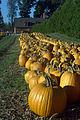 Pumpkin for sale in a farm.jpg